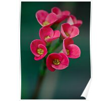 Crown of Thorns Flowers Poster