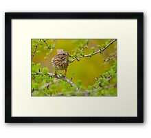 Lincoln's Sparrow on Tamarack Framed Print
