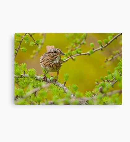Lincoln's Sparrow on Tamarack Canvas Print