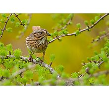 Lincoln's Sparrow on Tamarack Photographic Print