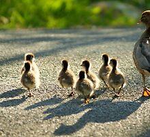 Ducks & Ducklings by ddymock