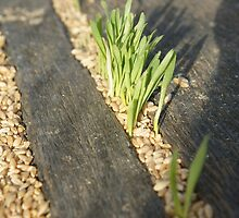 Germinating Wheat on Wallaroo Jetty by ddymock