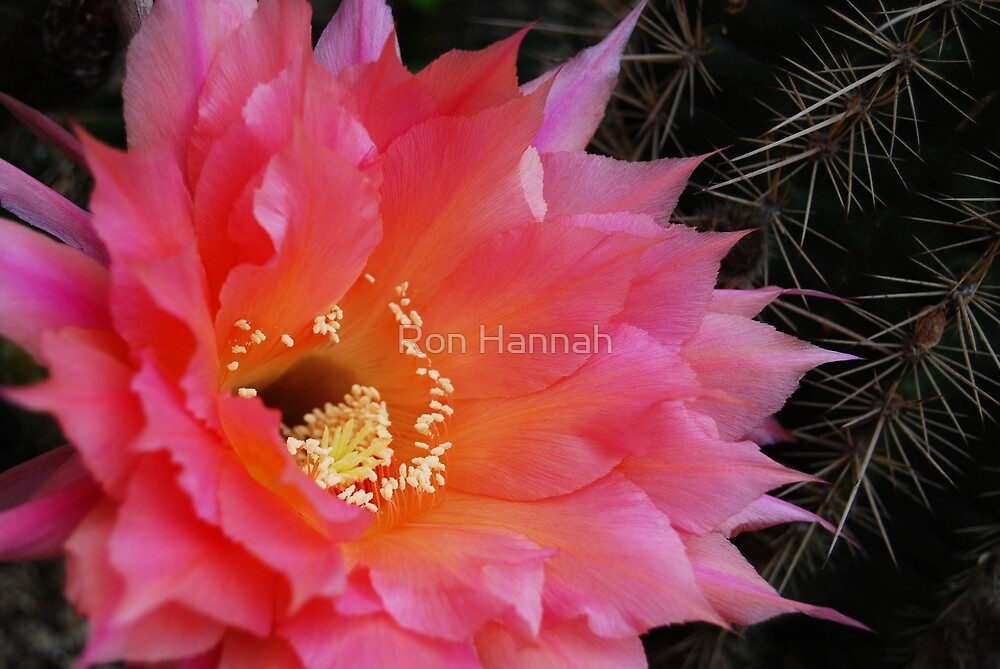 Petals & Prickles by Ron Hannah