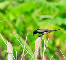 Black Drongo with it's catch by srijanrc