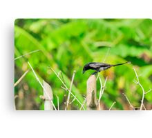 Black Drongo with it's catch Canvas Print