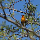 "Northern ""Bullock's"" Oriole (Western Male) by c painter"