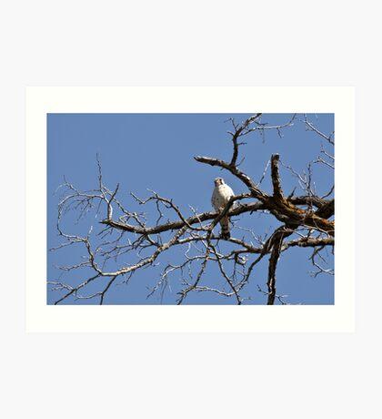 "American Kestrel ""Sparrow Hawk"" Art Print"