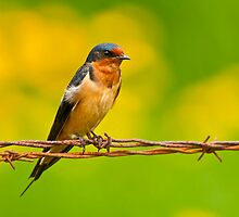 Barn Swallow On Barbwire by Michael Cummings
