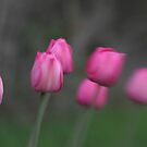 Pink Tulips by Jason Dymock
