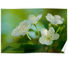 Pin Cherry Tree Blossoms Poster