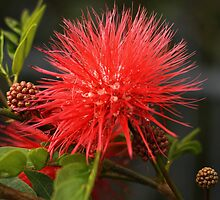 Callistemon by Joy Rensch
