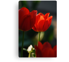 Tulip in sunshine lighting Canvas Print