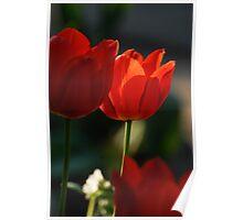 Tulip in sunshine lighting Poster