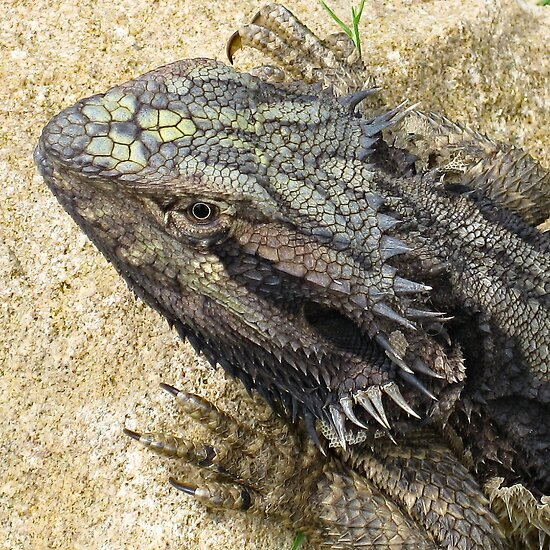 Bearded Dragon (after ecdysis) by Neil Ross