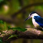 Collared Kingfisher by Christopher Cole