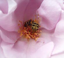 Among the fragrant petals by Ana Belaj