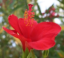 Soft Red Hibiscus With Natural Garden Background by taiche