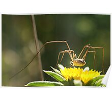 Spider on Flower Poster