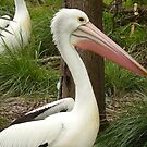 Paired up Pelicans by flipteez