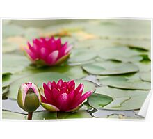 lily pad with flowers Poster