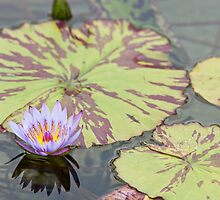Lily pad with purple flower by Robby Ticknor