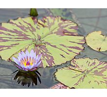 Lily pad with purple flower Photographic Print