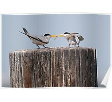 Least Tern Feeding Time Poster