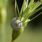 Snail by marens