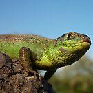 Sand Lizard  (Lacerta agilis) by Istvan froghunter