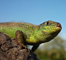 Sand Lizard  (Lacerta agilis) by Istvan Natart
