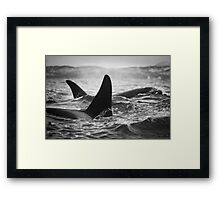 Orca Crossing - Tysfjord, Norway Framed Print