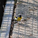 Grey Wagtail by CjbPhotography