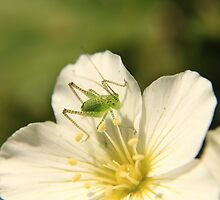 Speckled Bush Cricket by Deborah Durrant