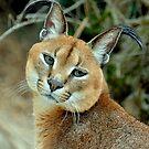 The bird watcher (Felis Caracal) by Alan Mattison
