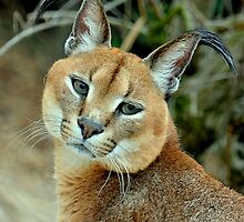 The bird watcher (Felis Caracal) by Alan Mattison IPA