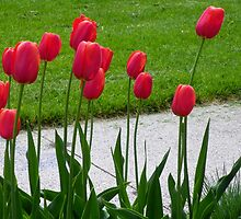RED TALL TULIPS by Diane Trummer Sullivan