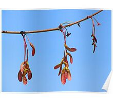Sycamore Seeds in Spring Poster