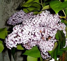 Luscious Lilacs by linmarie