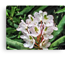 Rosebay Rhododendron - Smoky Mountains Canvas Print