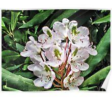 Rosebay Rhododendron - Smoky Mountains Poster