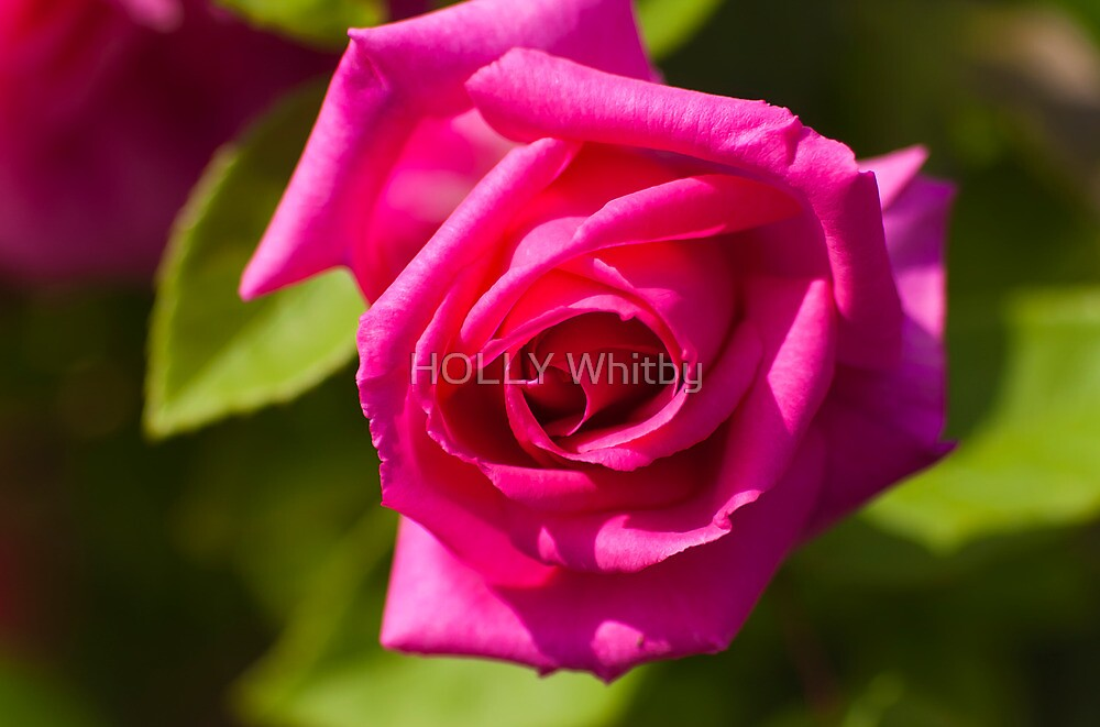 Pink Scented Rose by Elaine123