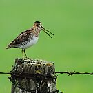 Wilson's Snipe by Bill McMullen