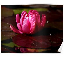 Pink Waterlily bud Poster