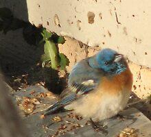 A Rare Oregon Lazuli Bunting/Blue Bird Baby! by Dave Sandersfeld