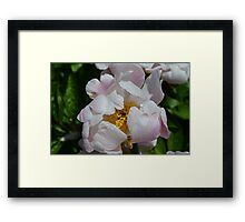 Bee flying into a white peony Framed Print