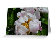 Bee flying into a white peony Greeting Card