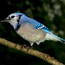 Blue Jay Enjoying a Sunflower Seed by Robert Miesner