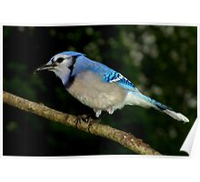 Blue Jay Enjoying a Sunflower Seed Poster