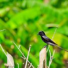 Immature Black Drongo by srijanrc