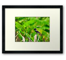 Immature Black Drongo Framed Print